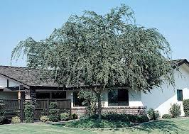 chinese evergreen elm monrovia chinese evergreen elm