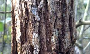 bark thickness indicates resistance in a hotter future