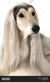 afghan hound close up headshot of afghan hound dog looking up with grooming