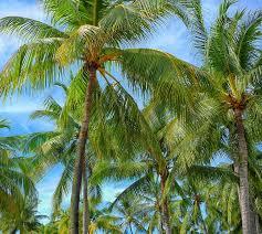 free photo palm trees palm tree free image on pixabay