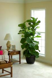 plant indoor plants with big leaves delicate big plants in home