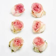dried roses ivory pink edge freeze dried heads petals roses