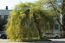 birch ornamental trees ebay
