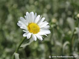 daisy pictures daisy flower pictures