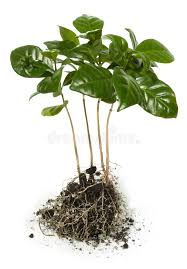 coffee tree seedlings stock image image of sprout stock 51121849