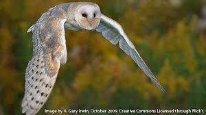 Barn Owl Sounds Film Education Resources Legend Of The Guardians Owl U0027s Who U0027s Who