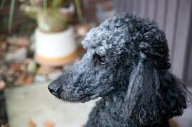 different toy poodle cuts different haircuts for toy poodle puppies cuteness