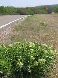 texas hill country update on milkweed and monarch butterfly eggs