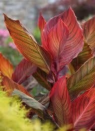 Canna Lilies Wow Plants For Your Summer Garden Tropicanna Canna Lilies