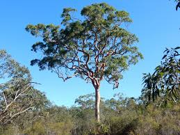 top ten large australian trees gardening with angus