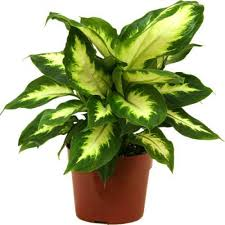 indoor ornamental plant ornamental plants tanmay lawn supplier
