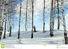 birch trees winter forest against background snow blue sky white