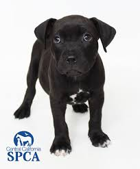 2 month old american pitbull terrier moose id 27640838 is a 2 month old male black and white pit