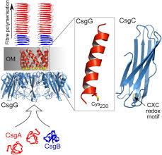 my curli atomic resolution insights into curli fiber biogenesis structure