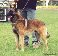belgian shepherd special forces belgian shepherd wikiwand