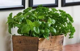 sarriette cuisine coriandre thym sarriette basilic vive les herbes fraîches