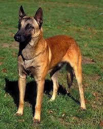 belgian sheepdog youtube 60 best belgian malinois images on pinterest belgian shepherd