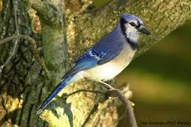 Pennsylvania birds images Pennsylvania among national bird count leaders jpg