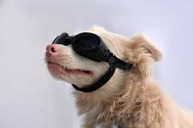 glasses for eyes sensitive to light albino dog with sunglasses stock photo image of glasses 93009272