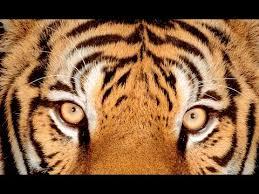 Tiger Meme - eye of the tiger meme youtube