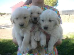 golden retriever pups ready by thanksgiving these are sold