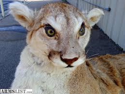 lions for sale armslist for sale mountain lion taxidermy mount