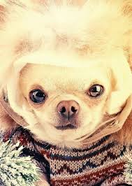 8 best chihuahua greeting cards images on birthday