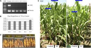 cell number regulator1 affects plant and organ size in maize
