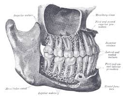 Right Side Human Anatomy The Mouth Human Anatomy