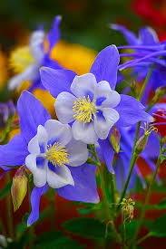 State Flower Of Colorado - stunning blue columbine photo courtesy of simply beautiful world