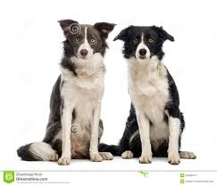australian shepherd 7 mesi two border collies 8 months old sitting and looking at the
