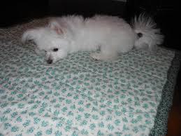 american eskimo dog forum lovkins little trim maltese dogs forum spoiled maltese forums