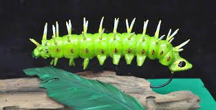 hercules moth caterpillar 7
