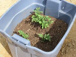 Container Gardening Potatoes - how to grow potatoes in containers growing potatoes in