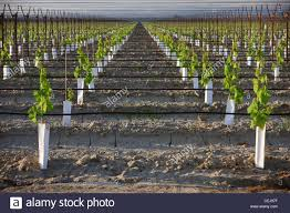 agriculture a young table grape vineyard utilizing an overhead