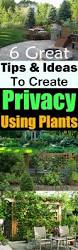 best 25 privacy plants ideas on pinterest privacy trellis
