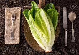 farm to table concept romaine lettuce organic farm to table healthy eating concept stock