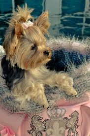 158 best cutest yorkies images on pinterest yorkies animals and
