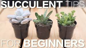 Succulents That Don T Need Light Succulent Tips For Beginners Garden Answer Youtube