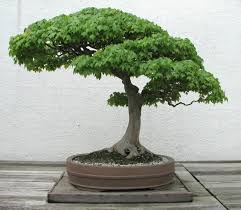 bonsai trees information get a mini bonsai tree uniqsource