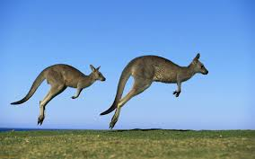kangaroo images collection for free download