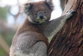 Koala Bear Meme - koala a type of bear sleeps for 22 hours a day gobyme