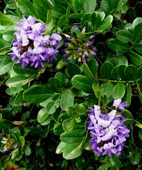 central texas native plants mountain laurel is a central texas favorite