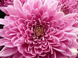 Flowers In November | november birth flower chrysanthemum proflowers blog