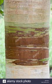 Light Copper Brown Betula Hergest Close Up Bark A Rare Variety With Light Copper