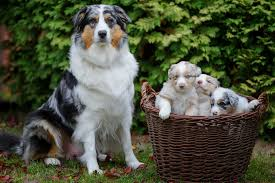 australian shepherd cost symptoms after spaying in dogs symptoms causes diagnosis
