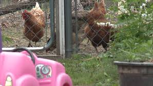 salmonella outbreak linked to backyard chickens and ducks