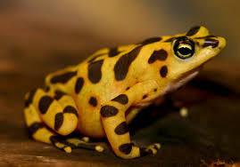 stubfoot toads genus atelopus naturewatch nz