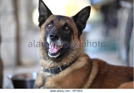 belgian shepherd el paso specialized search dog stock photos u0026 specialized search dog stock