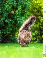 maine coon on grass in garden stock photo image 93347008